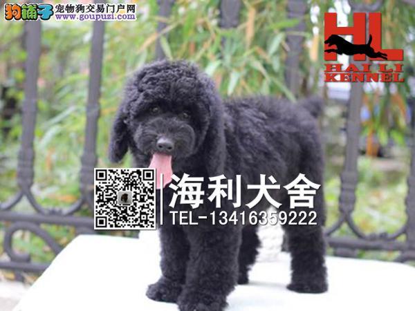 巨型贵宾幼犬出售中 驱虫防疫已做完 健康有保障5