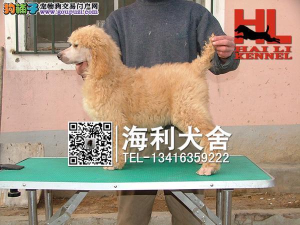 巨型贵宾幼犬出售中 驱虫防疫已做完 健康有保障6
