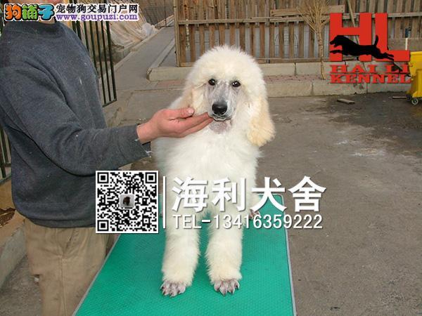巨型贵宾幼犬出售中 驱虫防疫已做完 健康有保障7