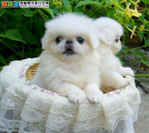 京巴宝宝出售中 可看狗狗父母照片 质保全国送货