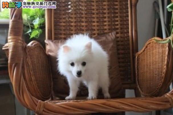 一只优秀的银狐犬最起码应该具备哪些条件