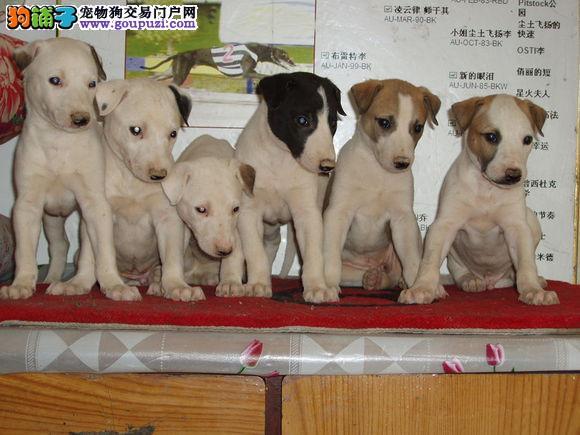 格力犬 格力犬出售了 驱虫 疫苗已做完 机不可失哦