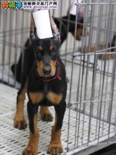 纯种杜宾犬,德系杜宾犬,高品质杜宾犬,终身包品质