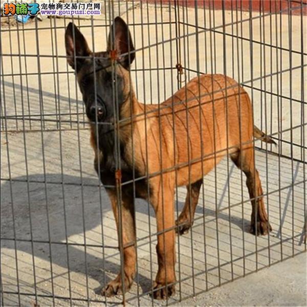 武汉自家狗场繁殖直销马犬幼犬签署各项质保合同2