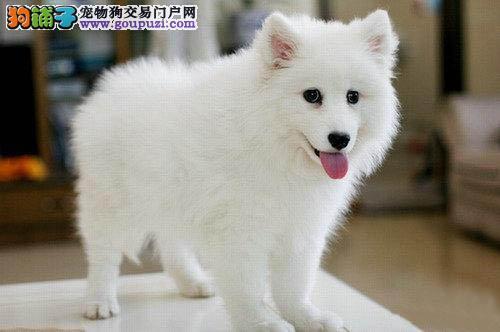 帮助大家买到最适合自己的银狐犬