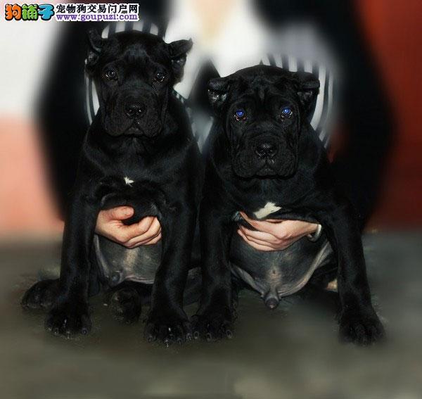 武汉繁殖基地出售多种颜色的卡斯罗犬当日付款包邮3