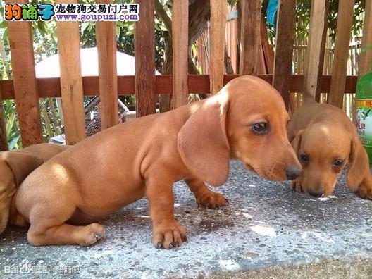 权威机构认证犬舍 专业培育腊肠犬幼犬全国空运发货
