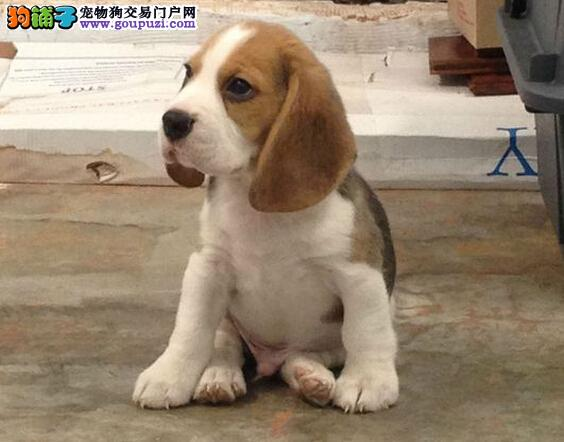 专业养殖/出售纯种比格幼犬欢迎上门选购图片