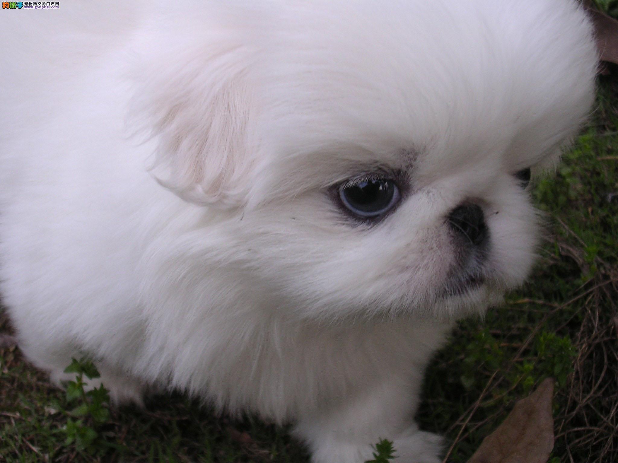 小短腿京巴犬幼犬北京狗北京犬白色大眼睛公母都有多只3