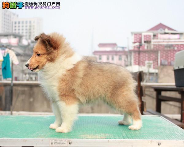 CKU认证犬舍出售高品质喜乐蒂欢迎爱狗人士上门选购