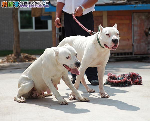 热销多只优秀的恩施州纯种杜高犬幼犬均有三证保障