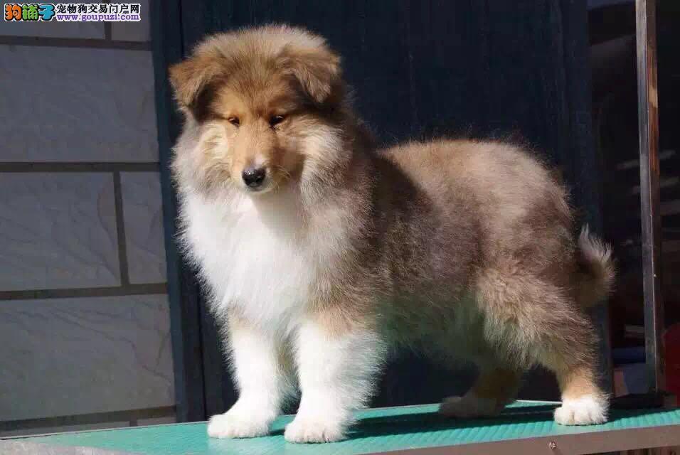 犬舍直销纯种苏格兰牧羊犬健康保证绝对纯种