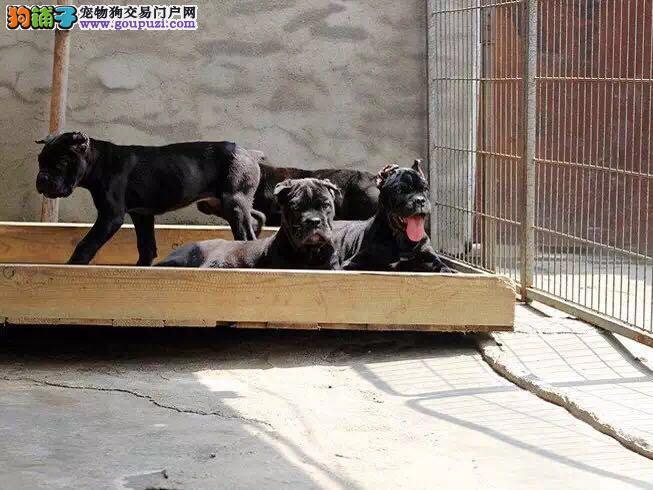 武汉繁殖基地出售多种颜色的卡斯罗犬当日付款包邮2