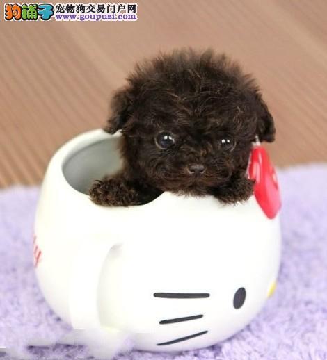 出售茶杯犬专业缔造完美品质签署质保合同1
