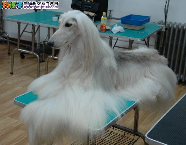 CKU认证犬舍 专业出售极品 阿富汗猎犬幼犬我们承诺终身免费售后
