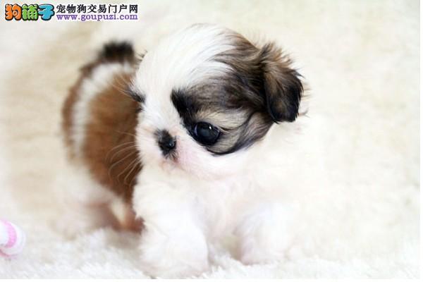 株洲直销健康甜美西施犬惊爆价格聪明不掉毛小型宠物犬