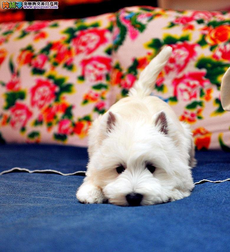 青岛犬舍直销小巧玲珑洁白无瑕西高地活动中一律特价