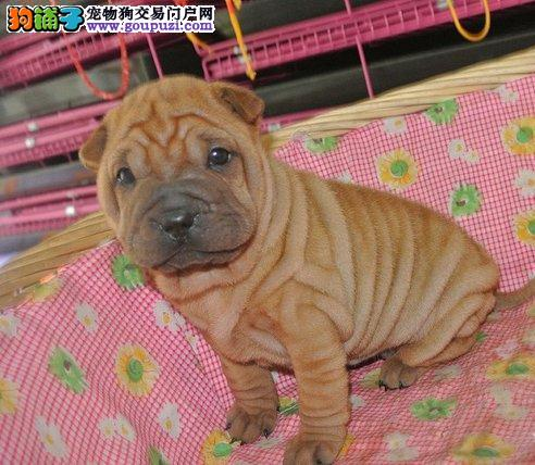 CKU认证/犬舍出售沙皮犬/赠宠物用品/签协议