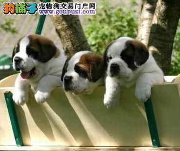 纯种圣伯纳出售 假一赔十纯度第一 提供养狗指导
