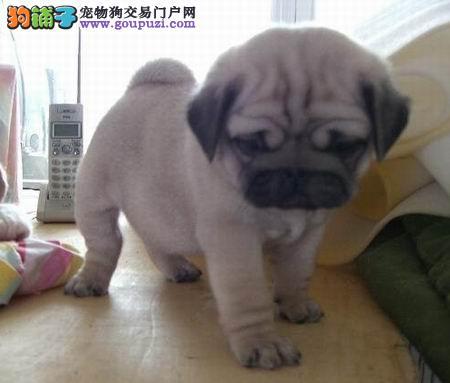 正规狗场巴哥犬,保健康,保纯种,签协议,北京送货