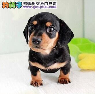 极品腊肠犬特价出售 腊肠犬 签协议质保三年