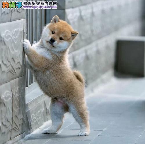 济南纯种日本柴犬出售 疫苗驱虫已做 包品质健康