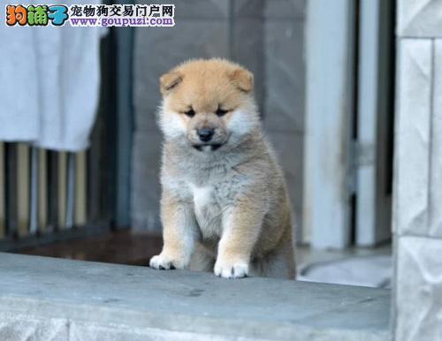 西宁出售聪明 动作敏捷的柴犬高智商 喜欢的朋友咨询