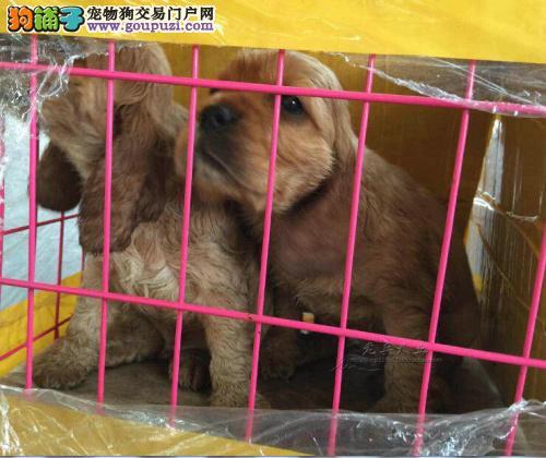 高品质可卡幼犬出售了 疫苗做完 质量三包