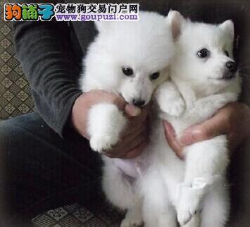日系银狐犬 出售银狐犬 高品质纯种 健康三包