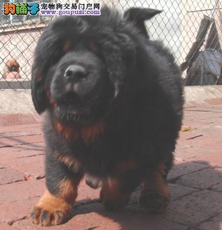 高原藏獒犬出售 凶猛藏獒犬 顶级血统藏獒犬