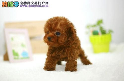 霸气外露六种颜色茶杯犬泰迪广元出售健康签合同保三年