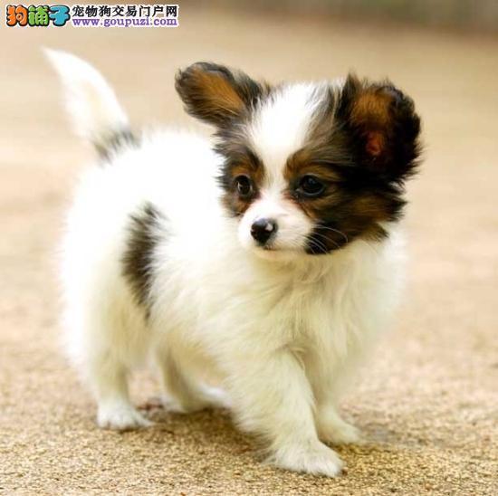 哈尔滨蝴蝶犬黑白 黄白蝴蝶犬漂亮 活泼可爱多只挑选