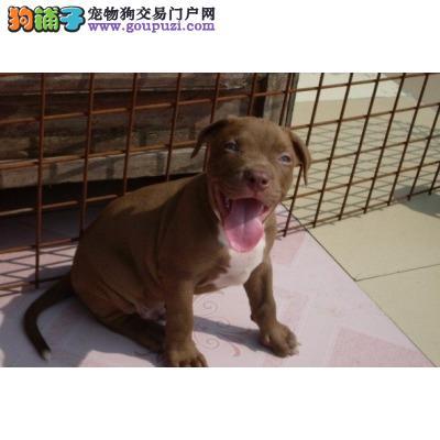 出售纯种健康的比特犬幼犬可直接视频挑选