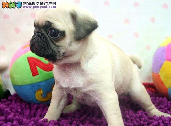哪里出售健康巴哥犬 纯种巴哥一个需要多少钱