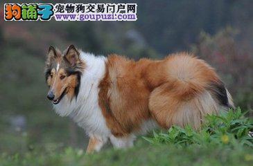 重庆哪里卖苏牧幼犬 宠物狗苏牧市场价格 大型犬苏牧