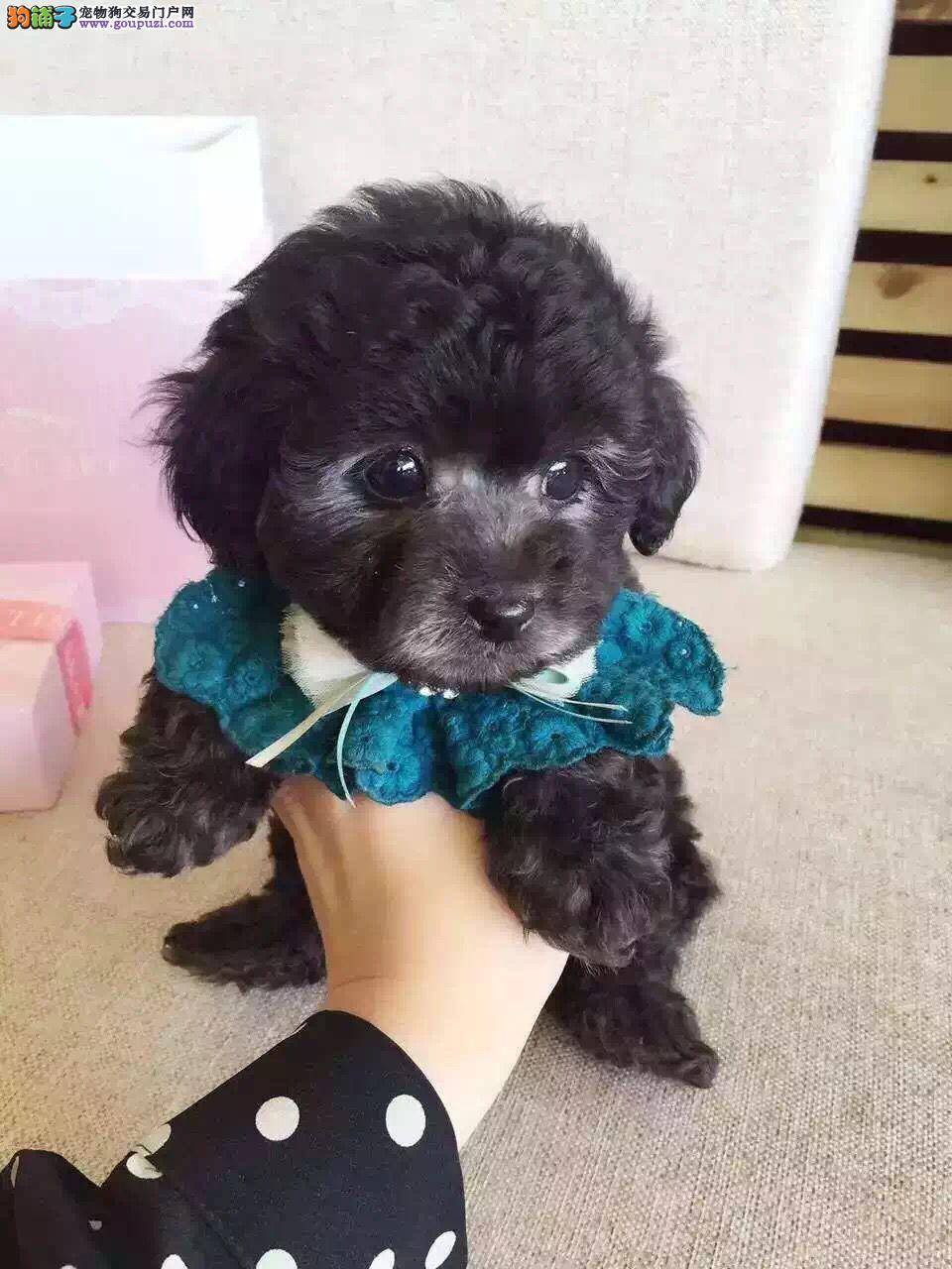 贵阳自家繁殖 口袋茶杯犬玩具体泰迪犬幼犬 健康活泼