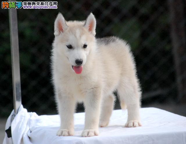 南京买纯种哈士奇雪橇犬 二哈包活包健康多颜色可选