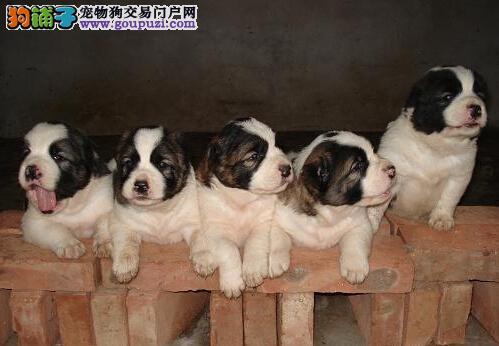 临床治疗中亚牧羊犬消化不良疾病的解决方法