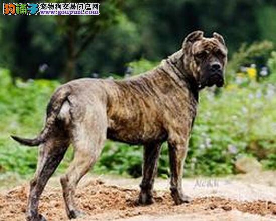 饲养无问题 我们应当怎样去饲养卡斯罗犬