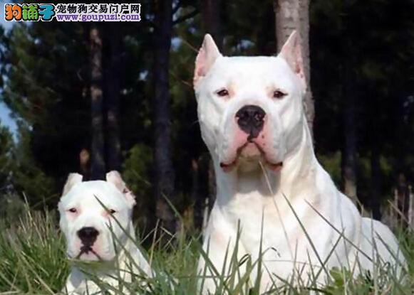细心护理杜高犬 做好杜高犬的护理工作