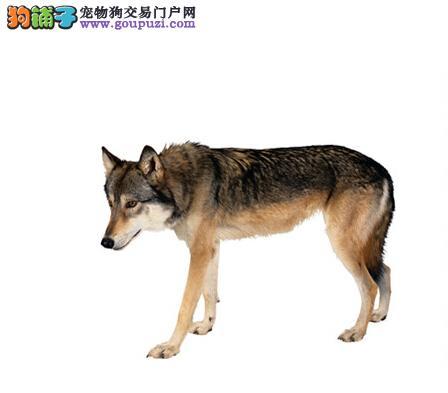 驯服你的狗 教你训练狼狗文明大小便