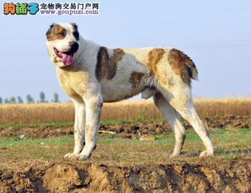 科学管理方案集锦 如何饲养中亚牧羊犬