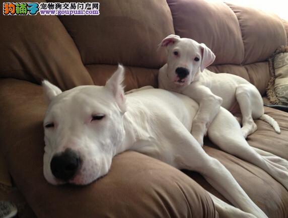 杜高犬的情感与它的叫声和动作之间的关系是怎样的