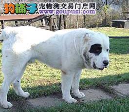 宠物牙医告诉你怎样照顾患上牙周病的中亚牧羊犬