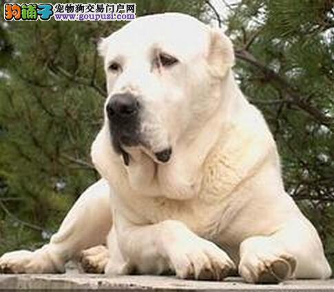 提高生活质量 给中亚牧羊犬选择合适的食盆和容器