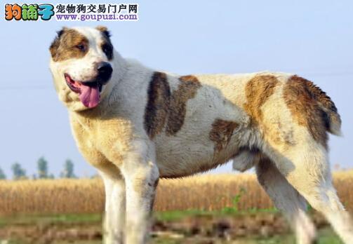 养成良好饮食习惯 训练中亚牧羊犬成为有家教的宠物狗