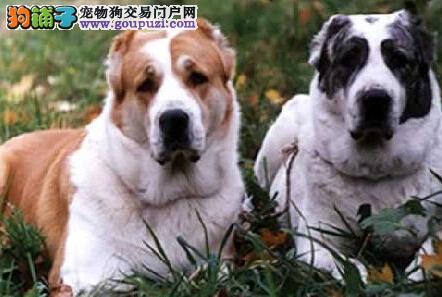寒冷季节 怎样洗澡对中亚牧羊犬是最好的