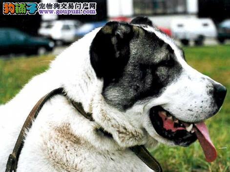 情操教育之如何培养中亚牧羊犬诚实开朗的性格