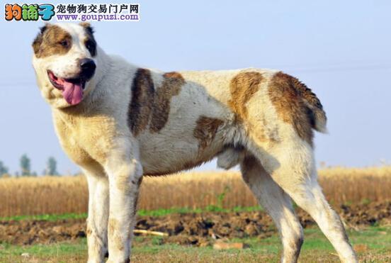 炎炎夏季 中亚牧羊犬容易遇到哪两大问题