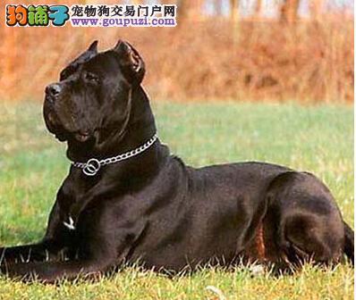狗爸狗妈面对调皮又捣蛋的卡斯罗犬应如何驯服成功